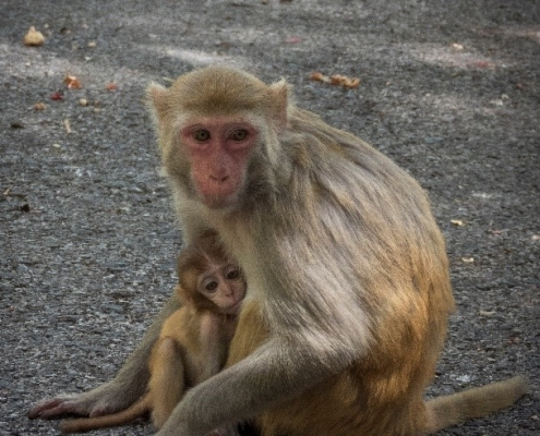 Mummy & baby monkey